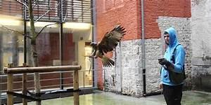 Faire Fuir Les Pigeons : marty la buse qui fait fuir les pigeons namur la dh ~ Melissatoandfro.com Idées de Décoration