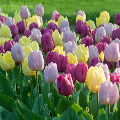 longfield gardens tulip prince mix bulbs  pack