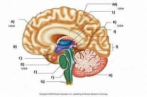 Brain Unlabeled Study Sheet