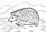 Hedgehog Coloring Printable Pages Cute Hedgehogs Colouring Getcoloringpages Shadow Animal I9 Grass sketch template