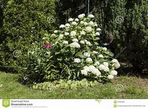 Weiße Dekosteine Garten : wei e hortensie im garten stockfoto bild 67860855 ~ Sanjose-hotels-ca.com Haus und Dekorationen