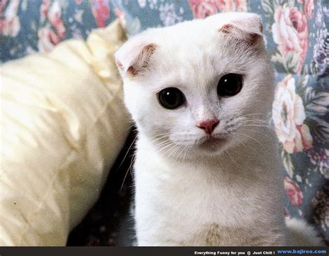 gambar kucing lucu  imut anggora persia maine