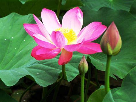 gambar bunga teratai kuncup pernik dunia