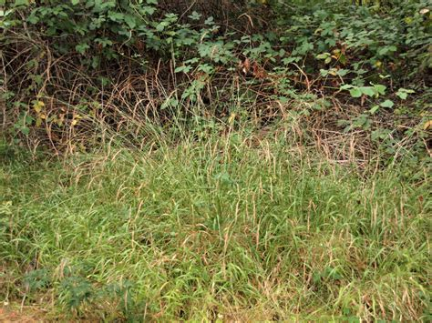 grass that spreads invasive false brome grass is spreading but oregon s insects are biting media relations