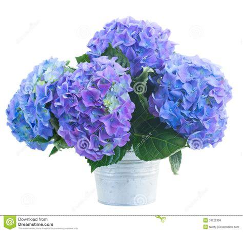petit bouquet des fleurs bleues de hortensia photo stock