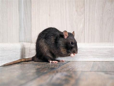 curious kids   rats
