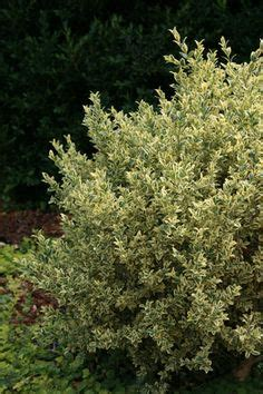 1000+ images about Buxus sempervirens on Pinterest Buxus