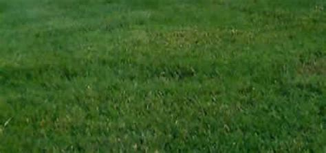 types of fescue grass triple play turf type tall fescue lawn grass seed seed