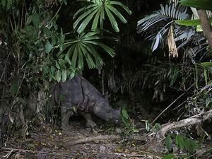 Javan Rhino | Species | WWF