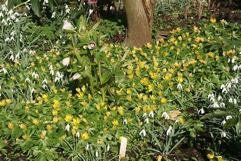 Botanischer Garten Heidelberg Stellen by Eranthis Hyemalis Cammarum Hyemale Eranthis 215 Tubergenii