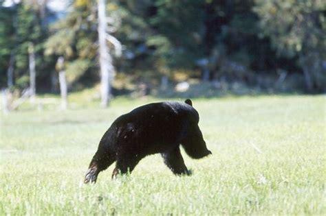 Running Bear Meme - running bear blank template imgflip