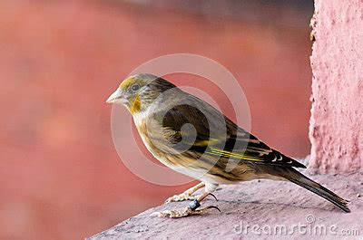 Hybrid Bastards 1 by The Hybrid Of Goldfinch And Canary Stock Photo