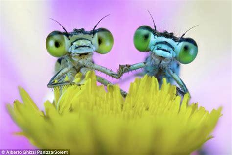 love bugs adorable damselflies hold hands