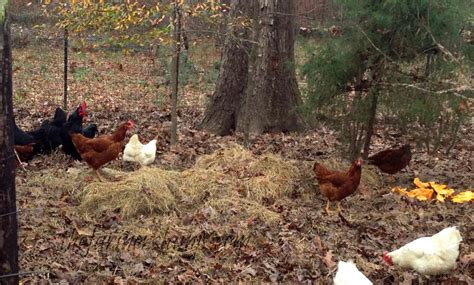 how to raise free range chickens backyard poultry