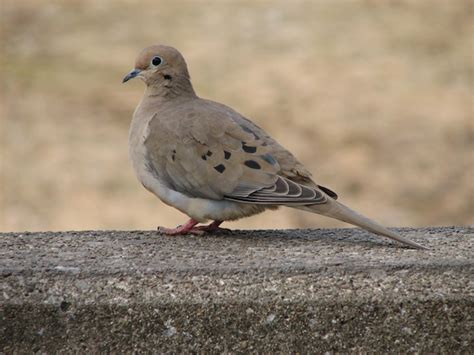 pigeons doves archives 187 bird watcher s digest