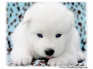 15 best White wolves images on Pinterest | White wolves ...