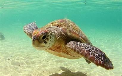 Tortugas Achtergronden Tortuga Schildpadden Pantalla Marina Fondo