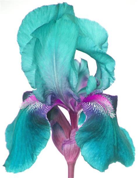 teal and purple iris flowers