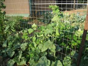 How to Plant Cucumbers On Trellis