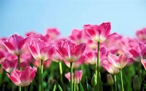 Blumen Im Frühling : download hintergrundbilder 1680x1050 pink tulip blumen im fr hling bl hen den blauen himmel ~ Orissabook.com Haus und Dekorationen