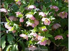 Hellebores Plant Care and Collection of Varieties