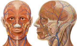Human Face Muscle Anatomy Diagram
