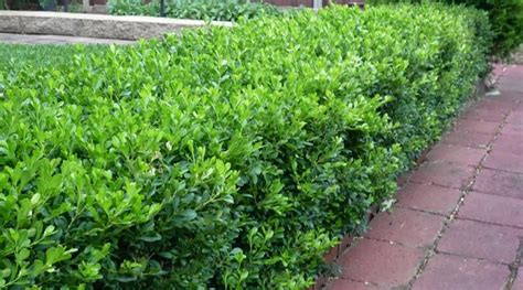 low growing bushes edge your bed with low growing shrubs grow beautifully