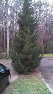 Evergreen Tree  U2013 Pruning