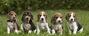 hunting dog day and estonian hound show