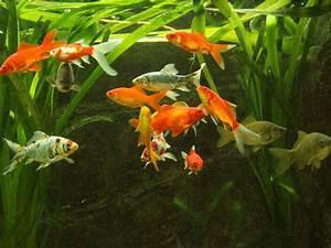 Goldfische Im Teich : fische bei naturagart fischteiche ~ Eleganceandgraceweddings.com Haus und Dekorationen