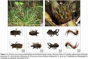 Primer registro de artrópodos asociados a Greigia ...
