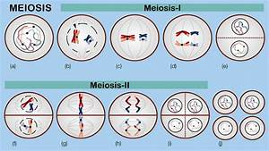 Random Orientation Of Chromosomes During Meiosis