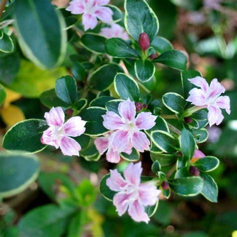 green shrub with pink flowers serissa foetida a diminutive evergreen or semi evergreen shrub with tiny deep green leaves