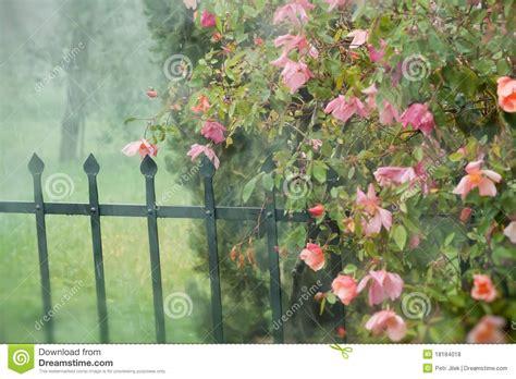 beautiful red rose   garden royalty  stock