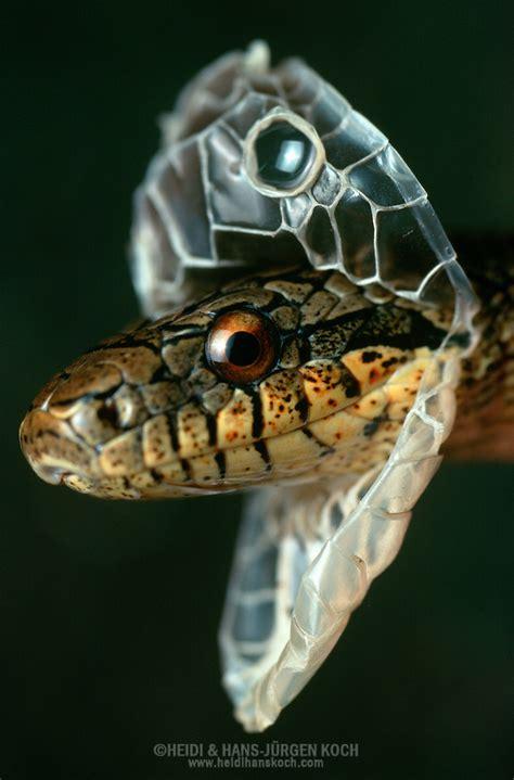 snake ratsnake elaphe dione shedding   skin