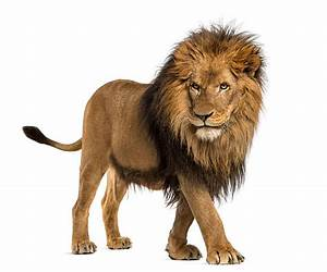 Royalty Free Lion Pictures, Images and Stock Photos - iStock
