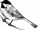 Chickadee Coloring Realistic Drawing Bird Pages Drawings Clipart Capped Birds Printable Line Clip Draw Chickadees Print Colornimbus Colouring State Pencil sketch template