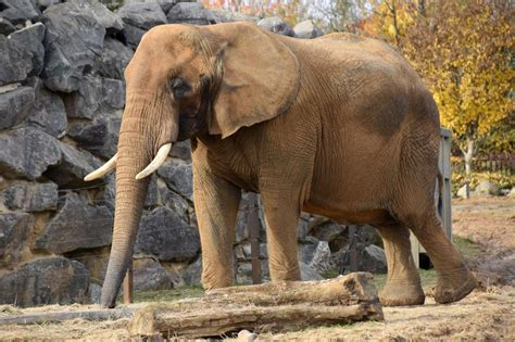 These famous african animals are often top of the list for a safari. Picture 6 of 26 - African Bush Elephant (Loxodonta Africana Africana) Pictures & Images ...
