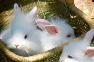 Dwarf English Angora Rabbits