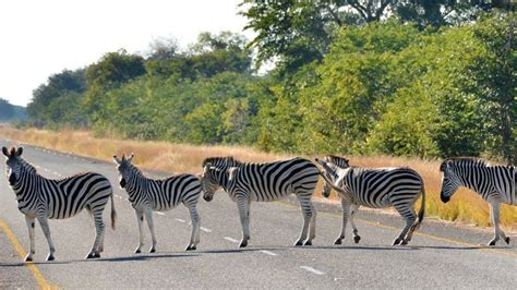 real life zebra crossing hilarious snaps