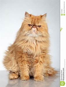 Ginger Persian cat stock photo. Image of orange, angry ...