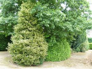 Ilex Golden King : ilex golden king houx hybride golden king p pini re en ligne de kerzarc 39 h ~ Frokenaadalensverden.com Haus und Dekorationen