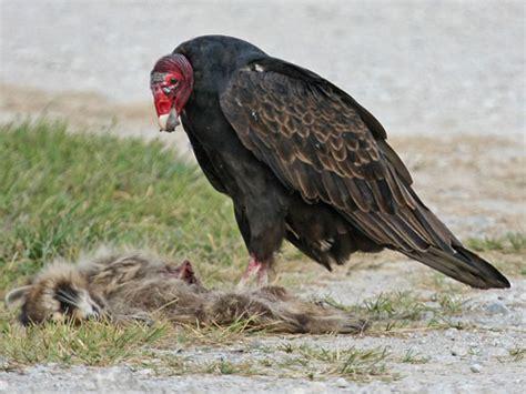 turkey vulture nebraska bird library