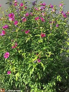Taille De L Hibiscus : quand faut il tailler les hibiscus ~ Melissatoandfro.com Idées de Décoration