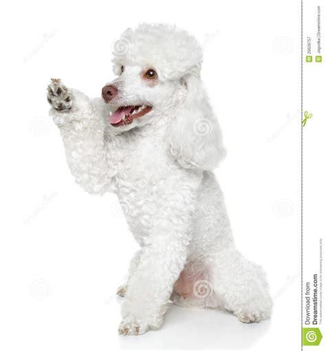 toy poodle    paw stock image image