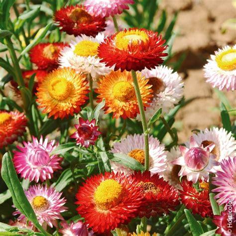 elicriso fiori elicriso bractea in mix semi da fiore meilland