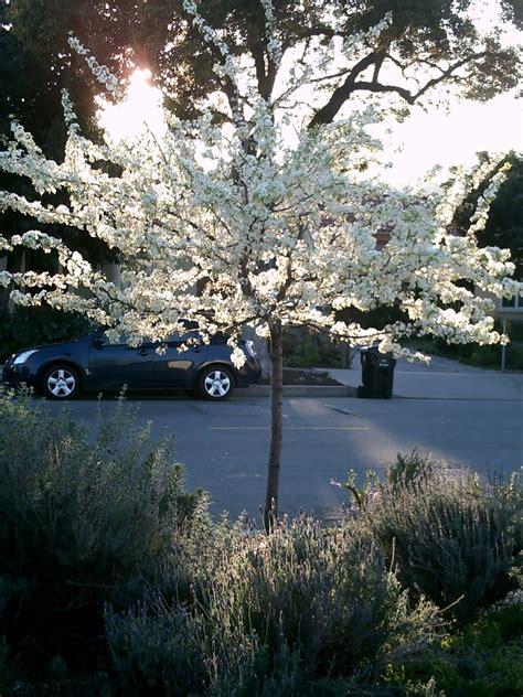 fairy yardmother landscape design trees pyrus