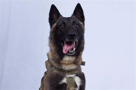 delta force dog returns  duty   injured
