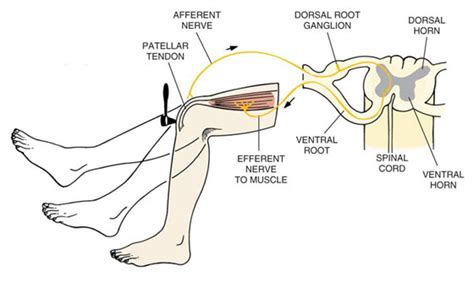 Diagram A Reflex Arc by Some Thoughts Reflexes A No Brainer
