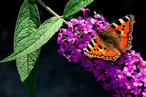 sommerflieder wann pflanzen sommerflieder schneiden und